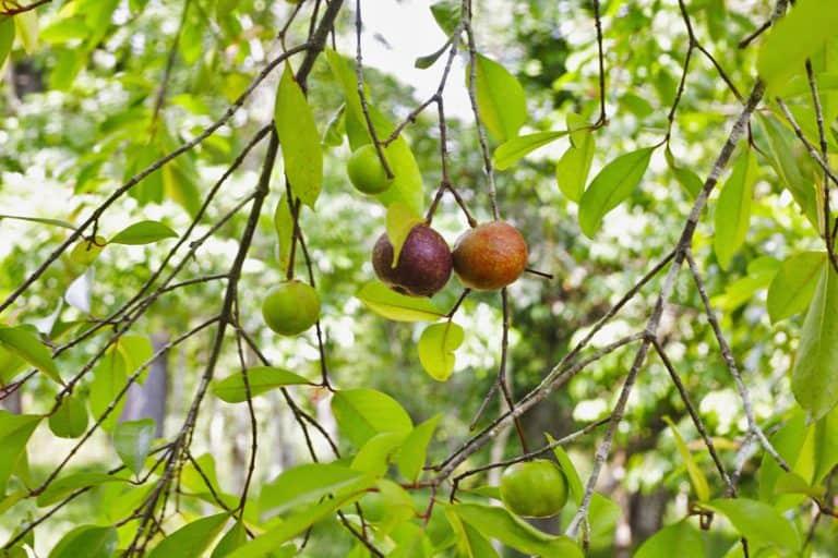 garcinia-cambogia-frutto-xcyp1