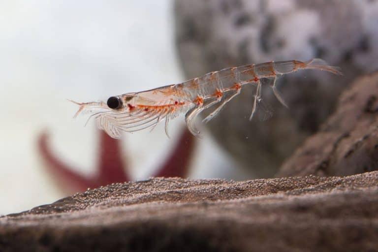 olio-di-krill-pesce-xcyp1