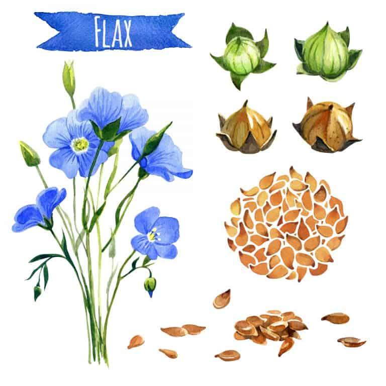 semi-di-lino-flax-xcyp1
