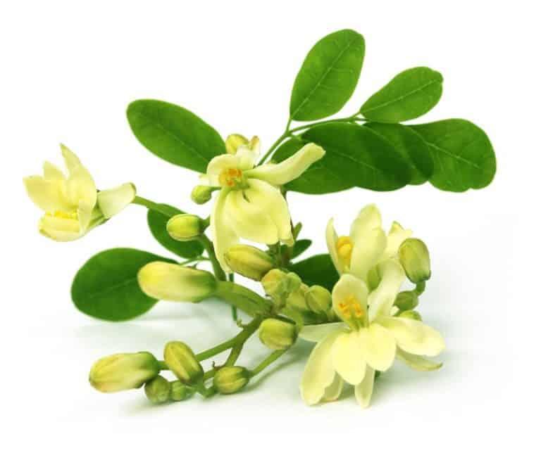 moringa-fiore