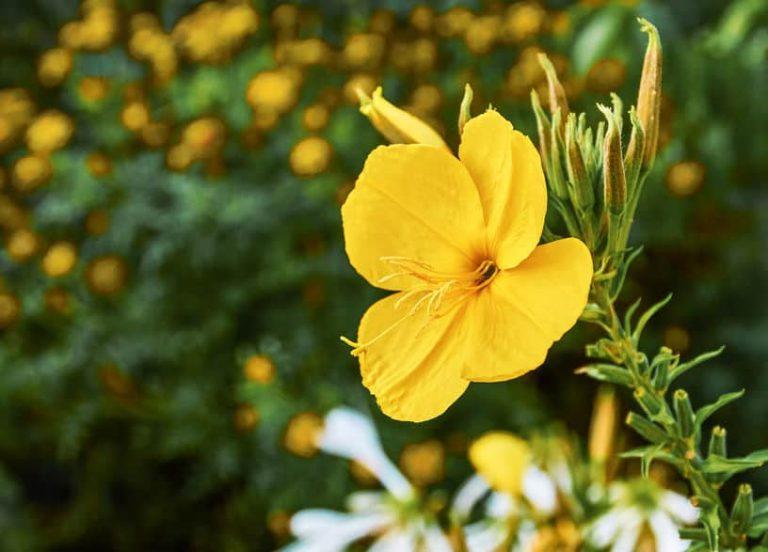 olio-di-enotera-fiore-xcyp1