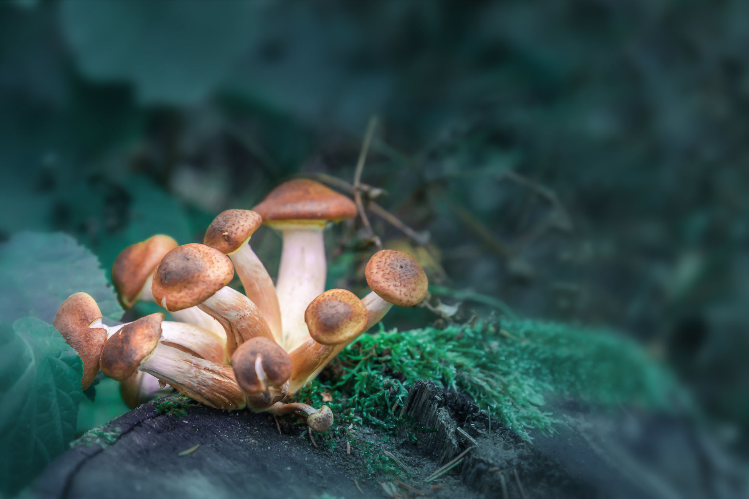 Funghi allucinogeni
